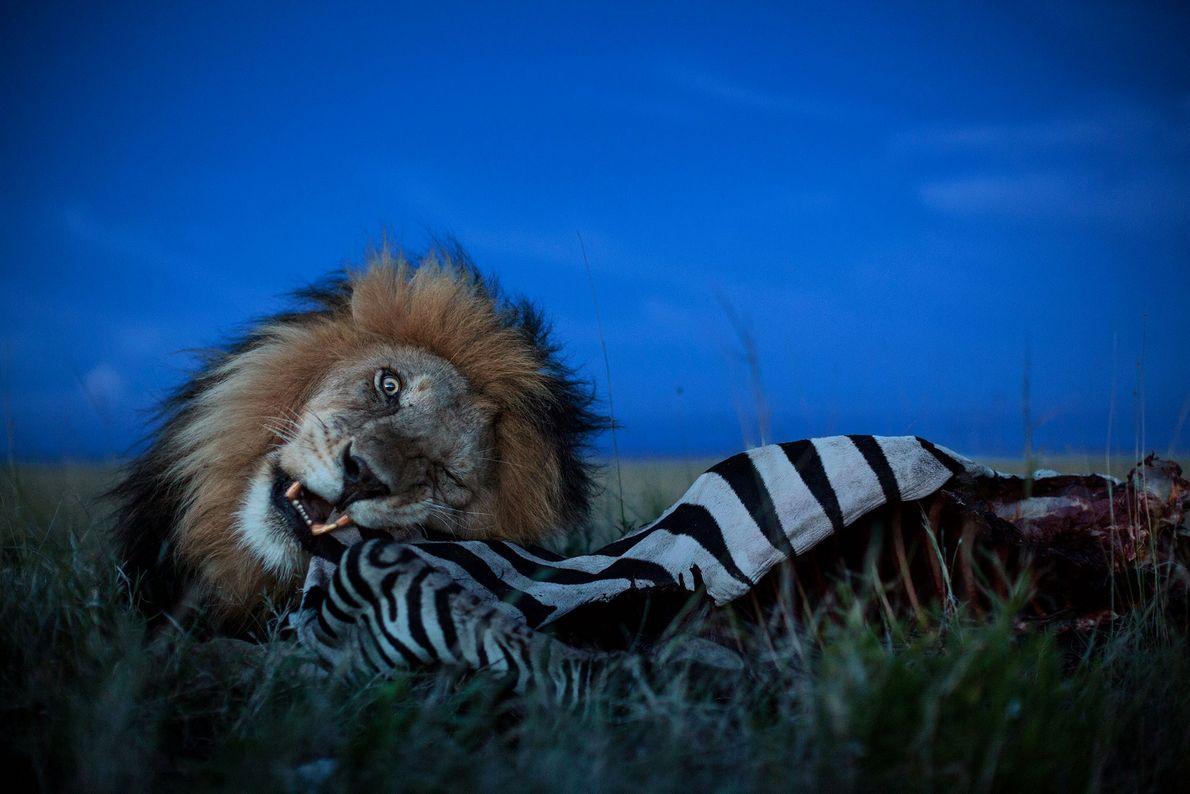 An adult male lion, nicknamed C-Boy, feasts on a zebra in Serengeti National Park, Tanzania.