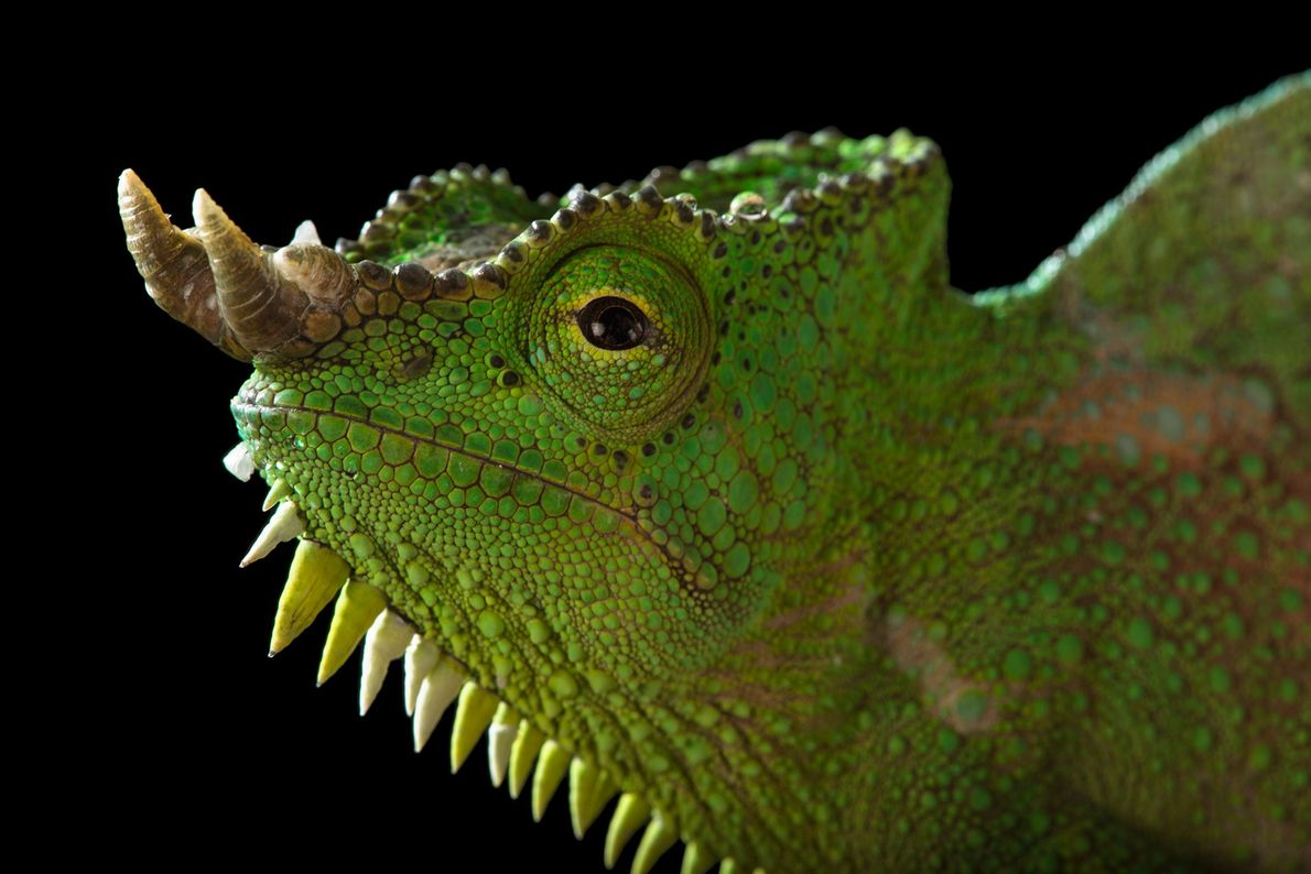 The four pointy horns that protrude from the snout of the four-horned chameleon add to the ...