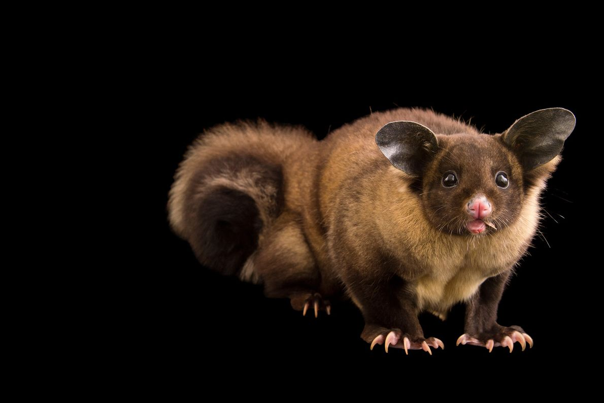 Yellow-bellied gliders, one of six species of gliding marsupials native to Australia, are classified as near-threatened ...