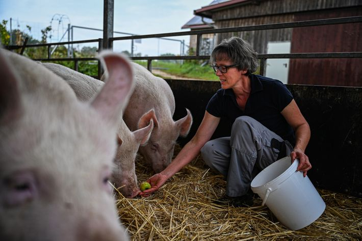 Evi Heigl feeds the pigs. The organic farm has 90 female pigs and about 500 piglets.