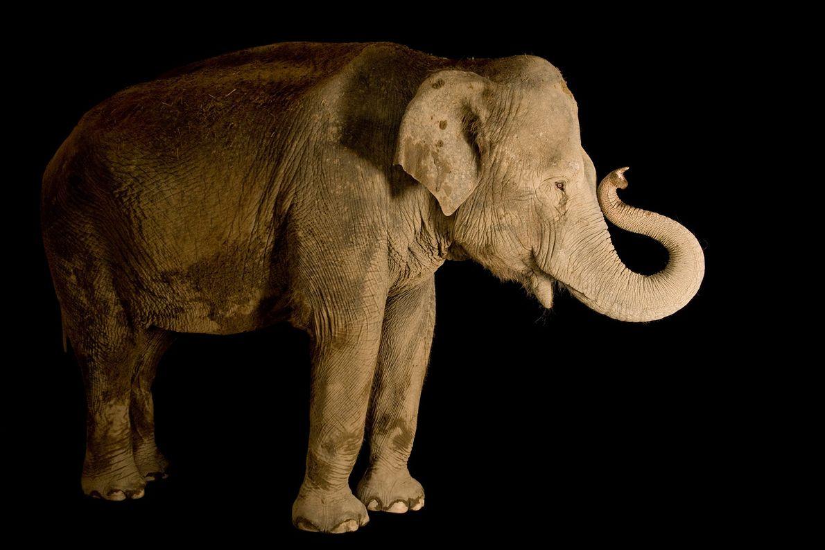 An Asian elephant (Elephas maximus) at Buffalo Zoo, New York.