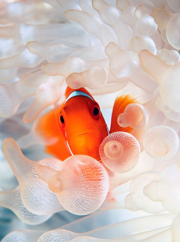 A spine-cheek clownfish nestles in bulb tentacle sea anemone.