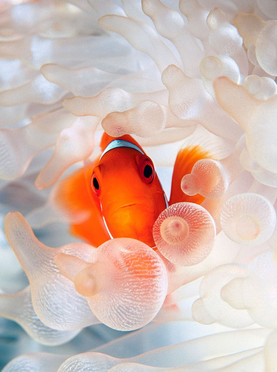 A spine-cheek clownfish nestles in bulb tentacle sea anemone.