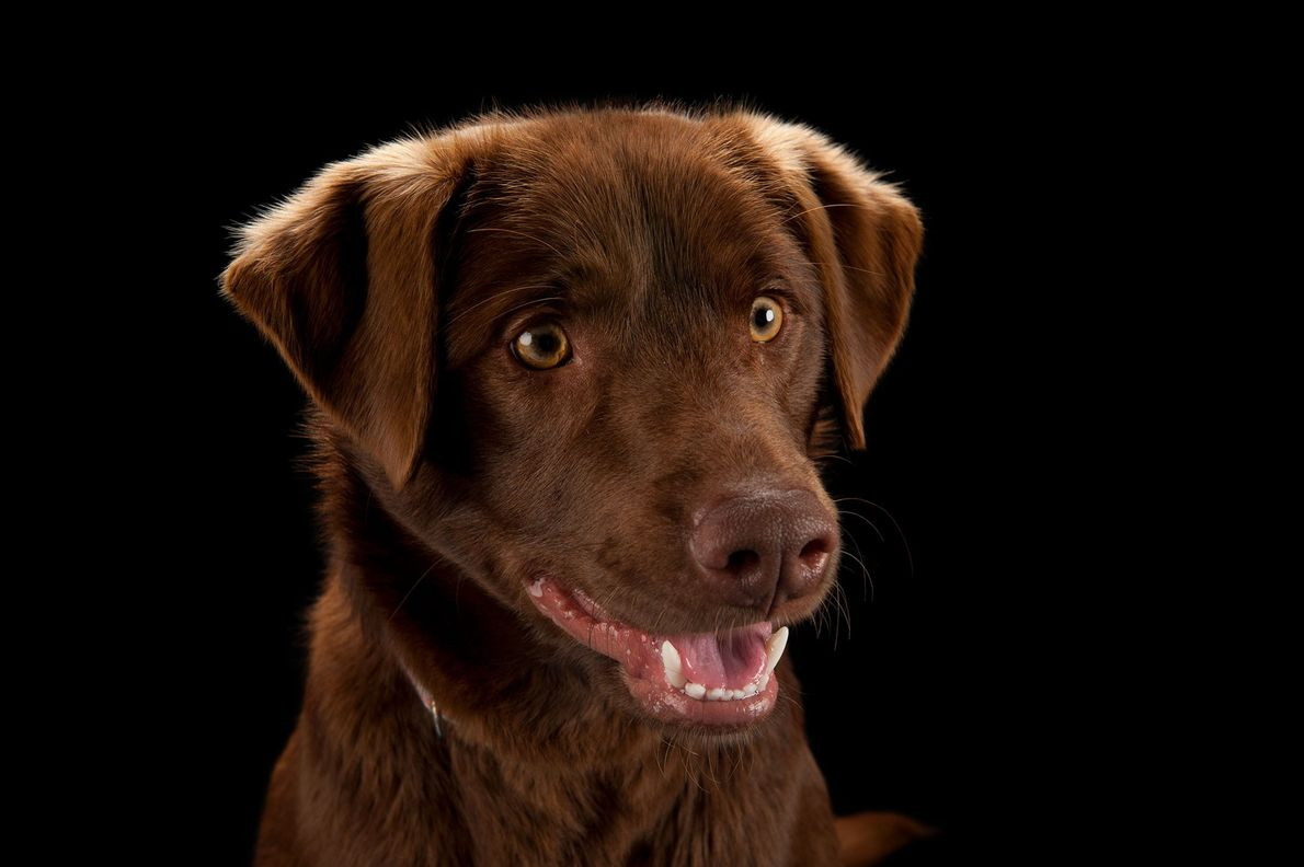 A chocolate Labrador retriever.