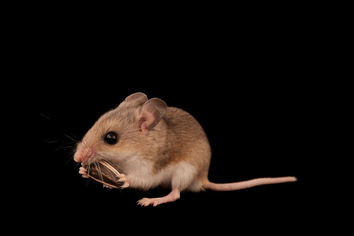 A federally threatened Southeastern beach mouse, Peromyscus polionotus niveiventris. There are only a few thousand of ...