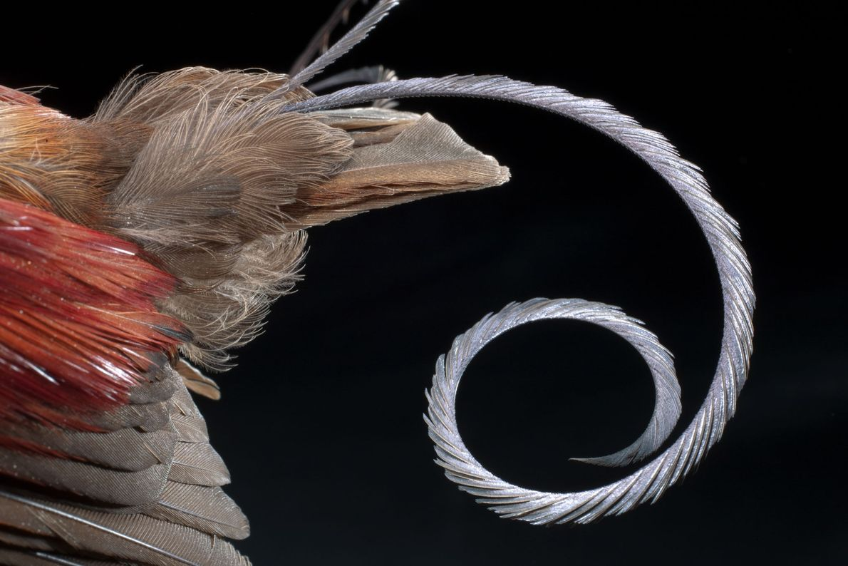 The tail of a male Wilson's bird of paradise.