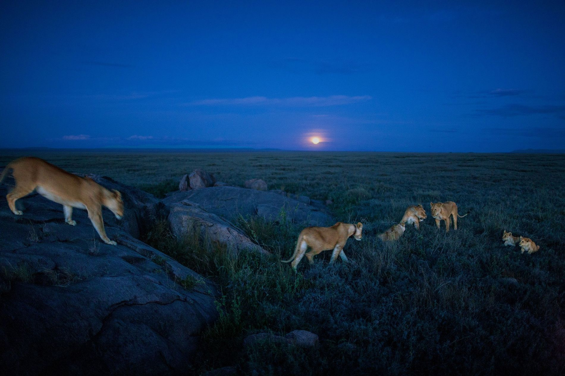 Members of the Vumbi pride set out on an evening hunt.