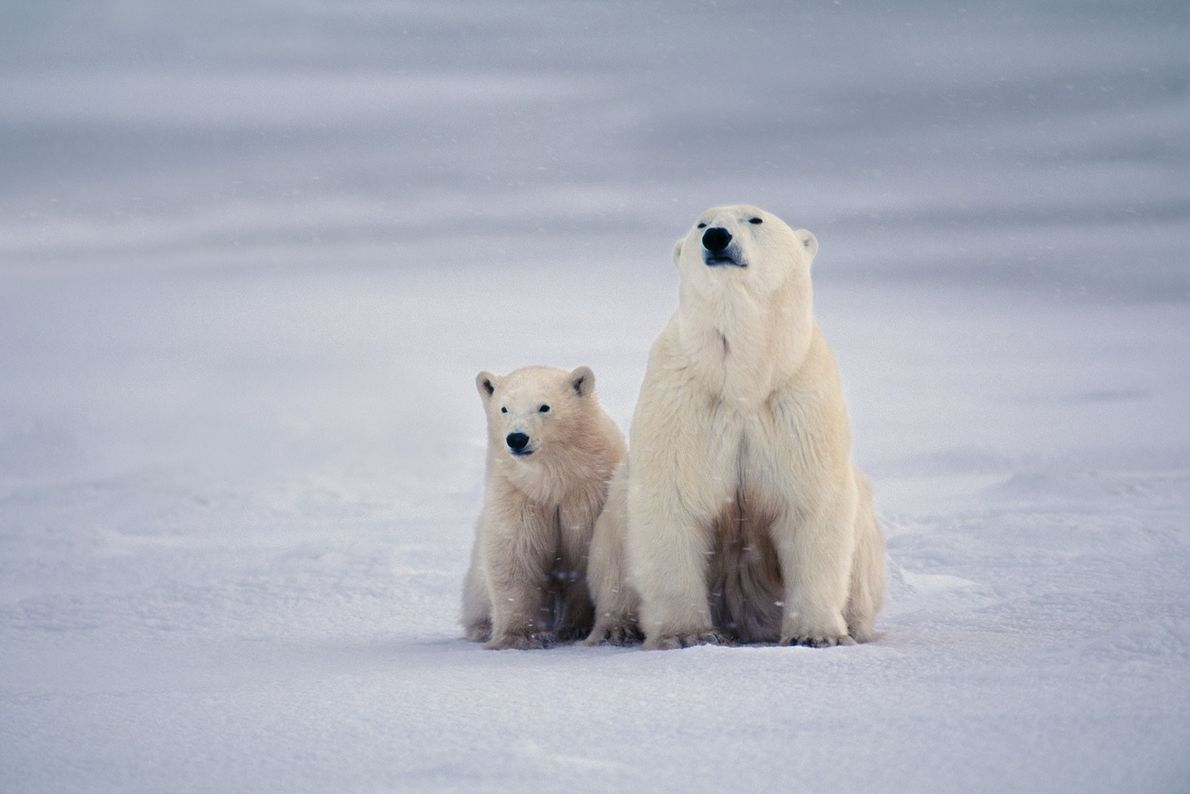Polar bear mother and cub stick close together in Hudson Bay, Canada.