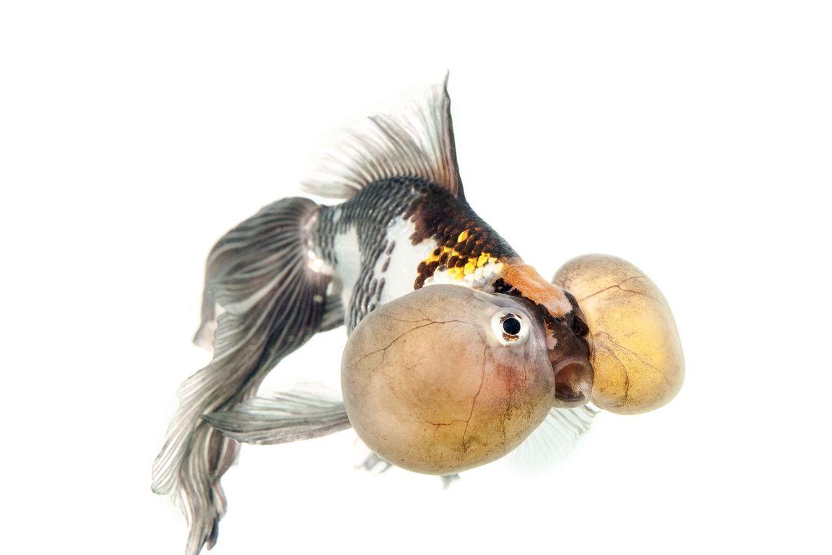 A tricolour dorsal-finned bubble-eye goldfish.