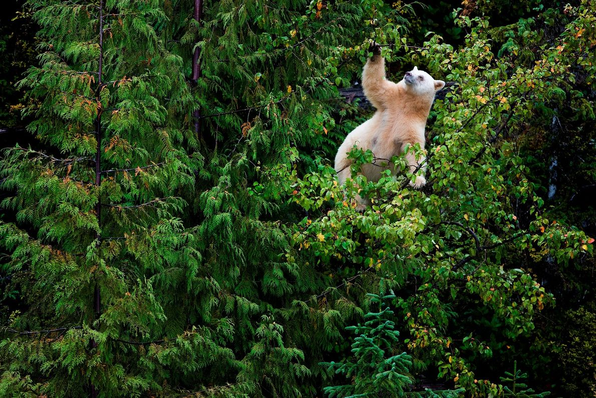 Crab apples are a favourite food of British Columbia's spirit bears. The coastal town of Klemtu ...