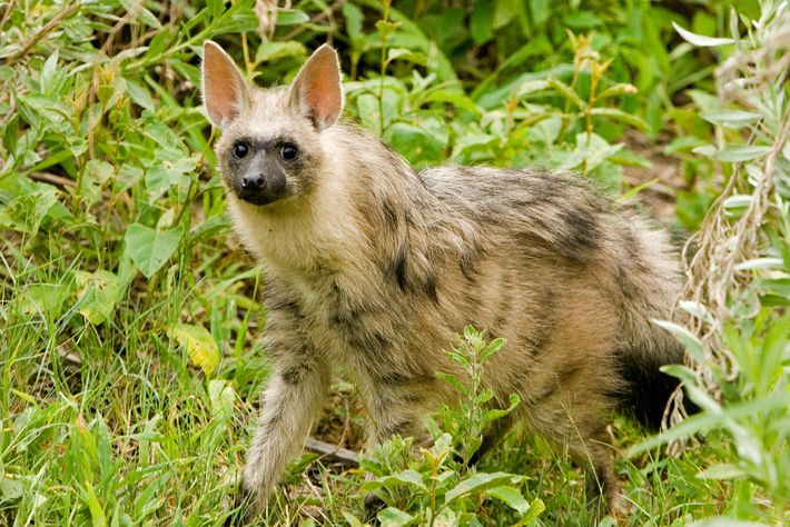A striped hyena walks through Botswana's Okavango Delta. The species is classified as near-threatened.