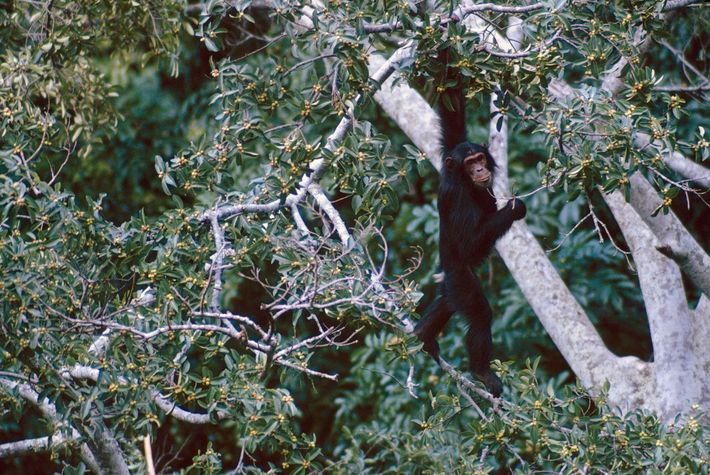 A bellicose youngster glares down from a fig-tree larder. Toes gripping a slender branch, Spray stretches ...