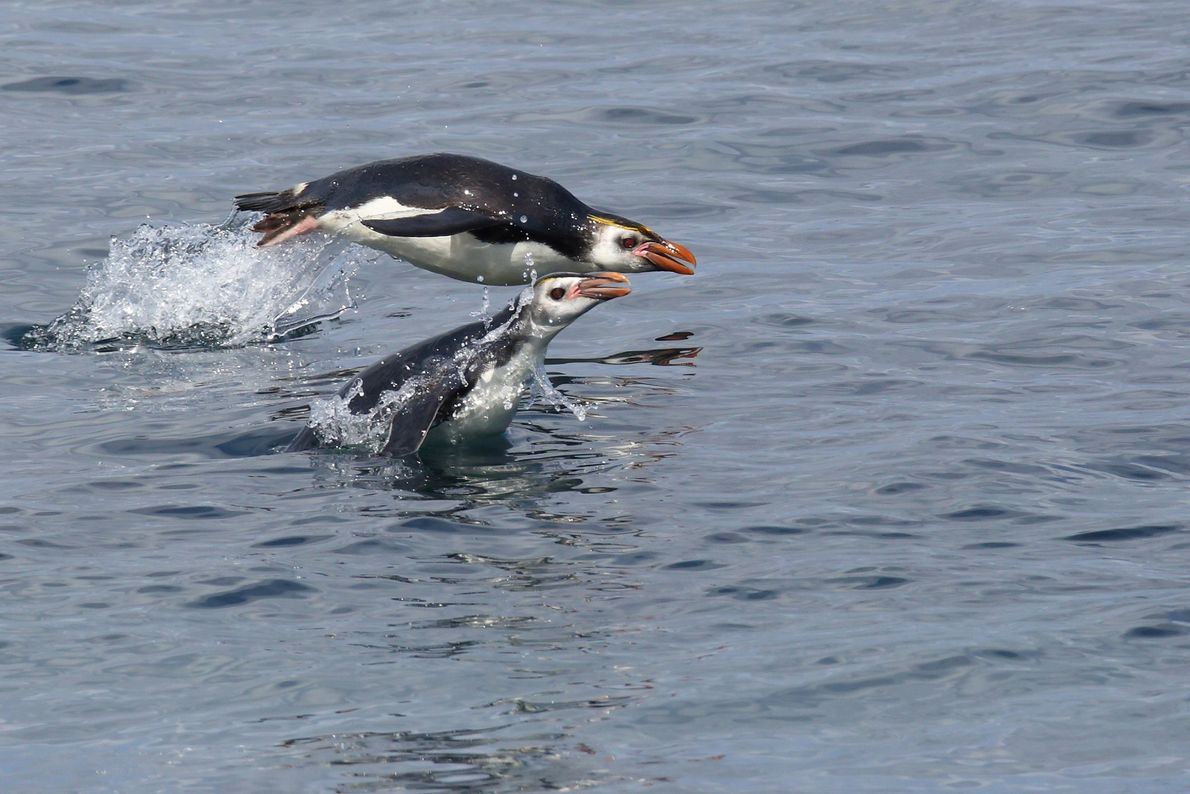 Penguins sailing from the water in New Zealand's Macquarie Island near Antarctica.