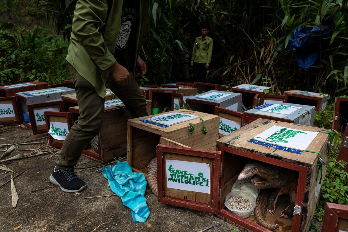 These pangolins, rescued by Save Vietnam's Wildlife, have a final meal before being released back into ...