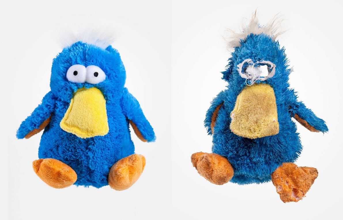 Murray must have found the eyes on the platypus toy alarming, because that's the first part ...
