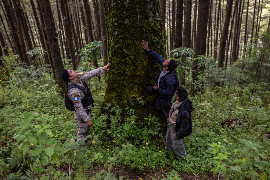 Environmental police, national parks personnel, and local communities work together to safeguard pinabete forests. This pinabete ...
