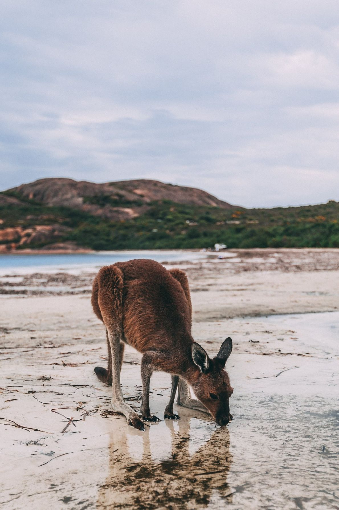 Your Shot photographer Christina Zito captured this photo of a kangaroo at Lucky Bay in Esperance, ...