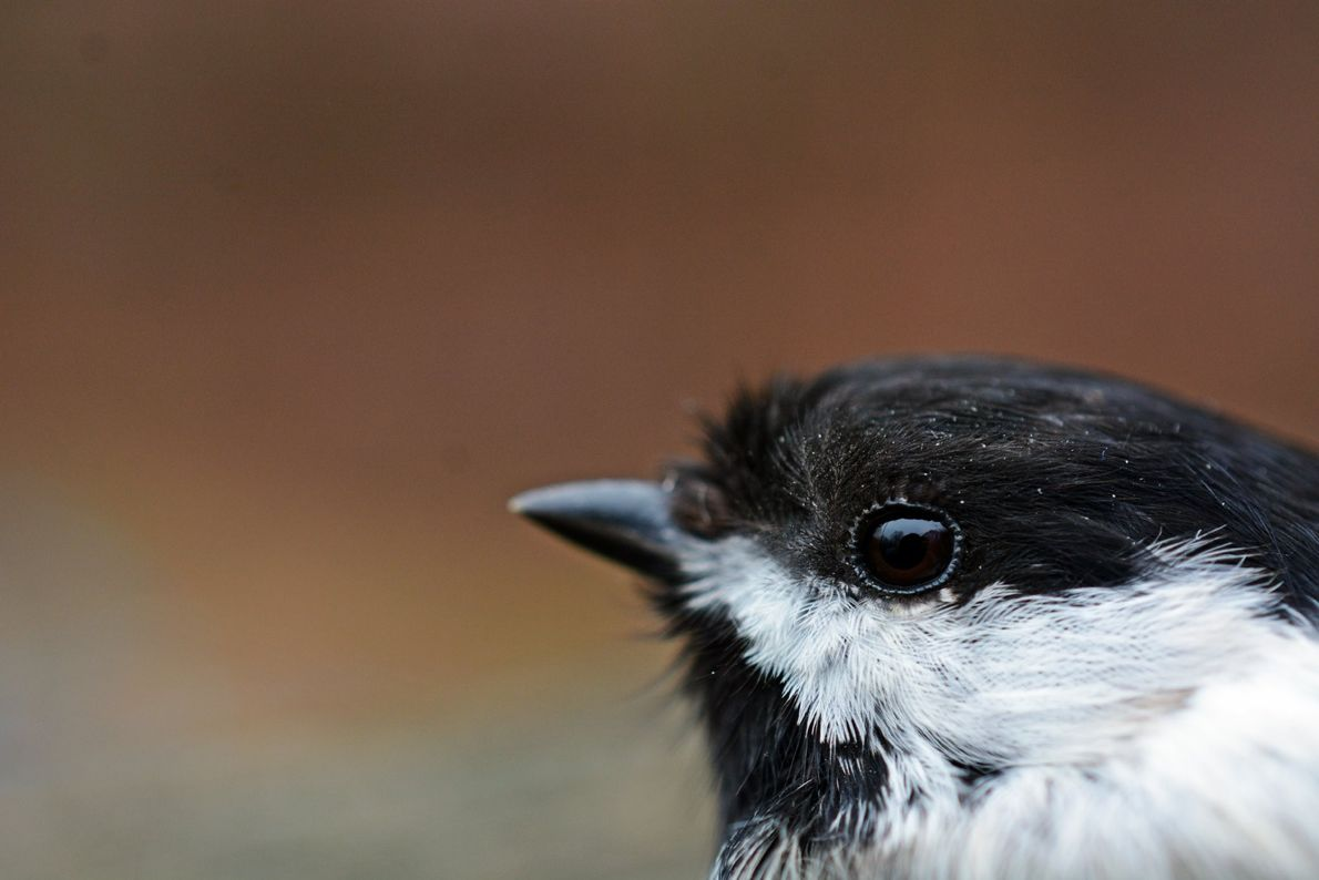 Your Shot photographer Isabelle V. M. made this portrait of a chickadee outside her home.