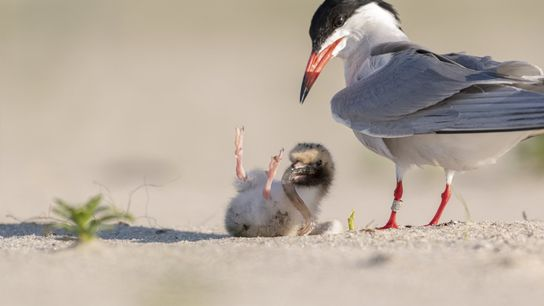 """""""A very small tern chick, was being fed by the parent,"""" writes Your Shot photographer Soumyajit ..."""