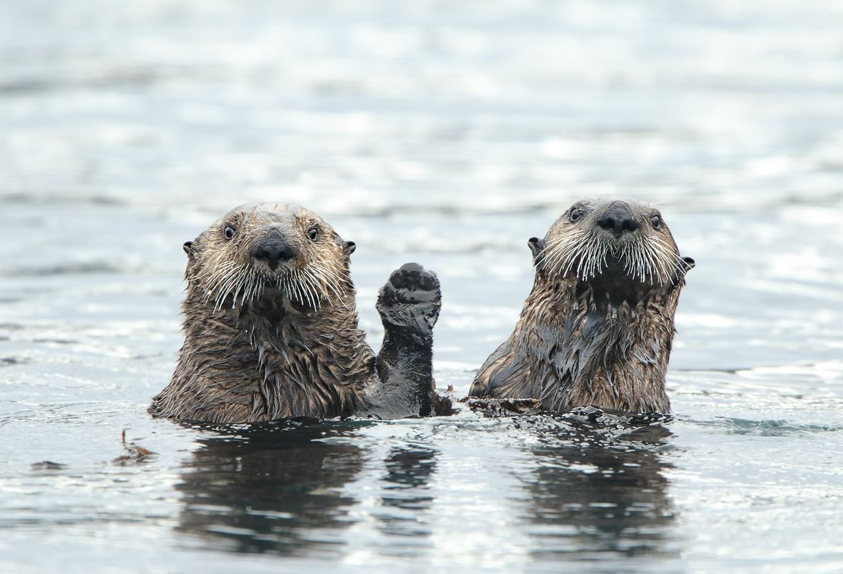Two otters appear to be holding paws as Your Shot photographer Donna Bourdon's boat passes by ...