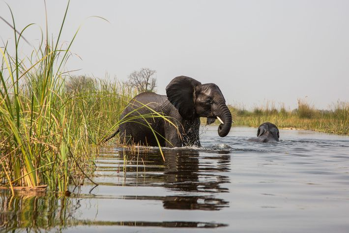 An African elephant wades into the floodplains of the Okavango River Basin, which feed downstream into ...