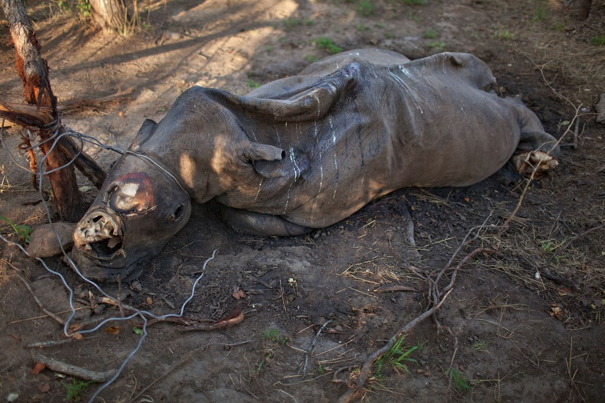 A decomposing rhino with its horns cut off lies where it was strangled in a poacher's ...
