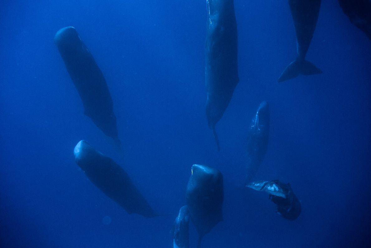 This huge group of whales decided to suddenly dive to organize into the sleeping group position.