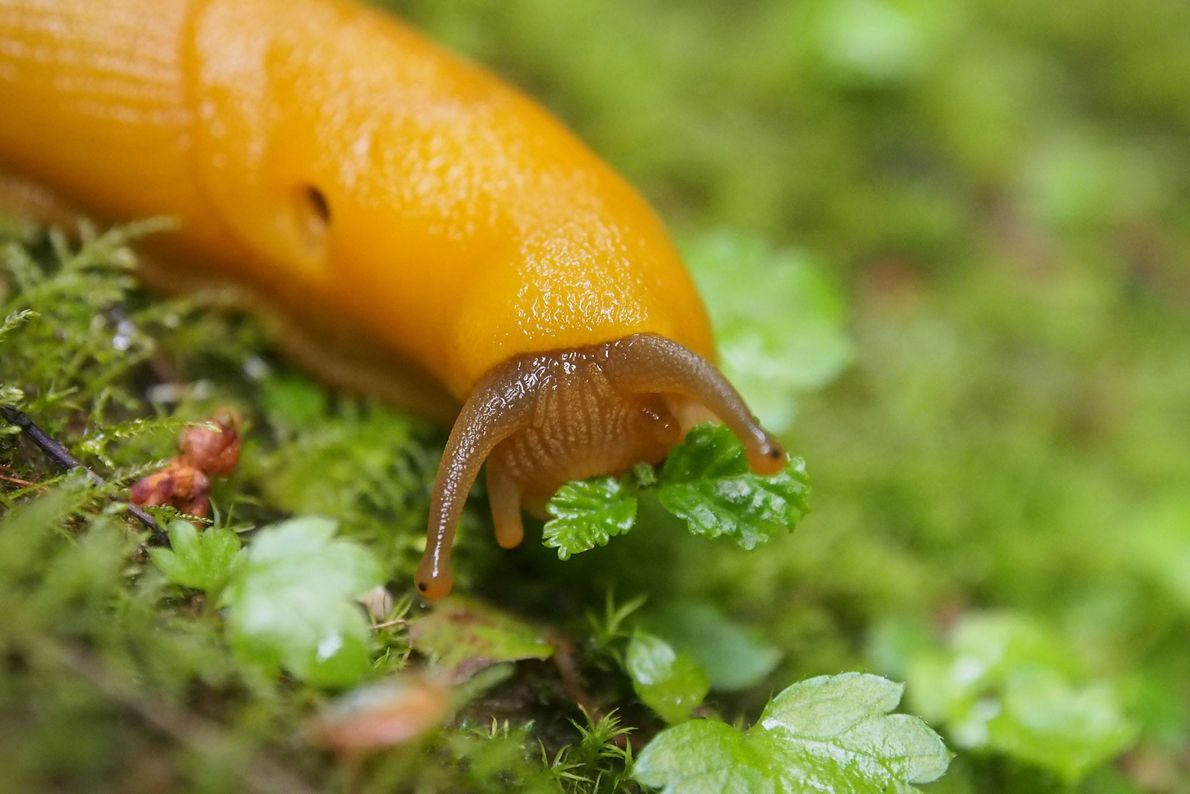 A banana slug, photographed at Pescadero, California.