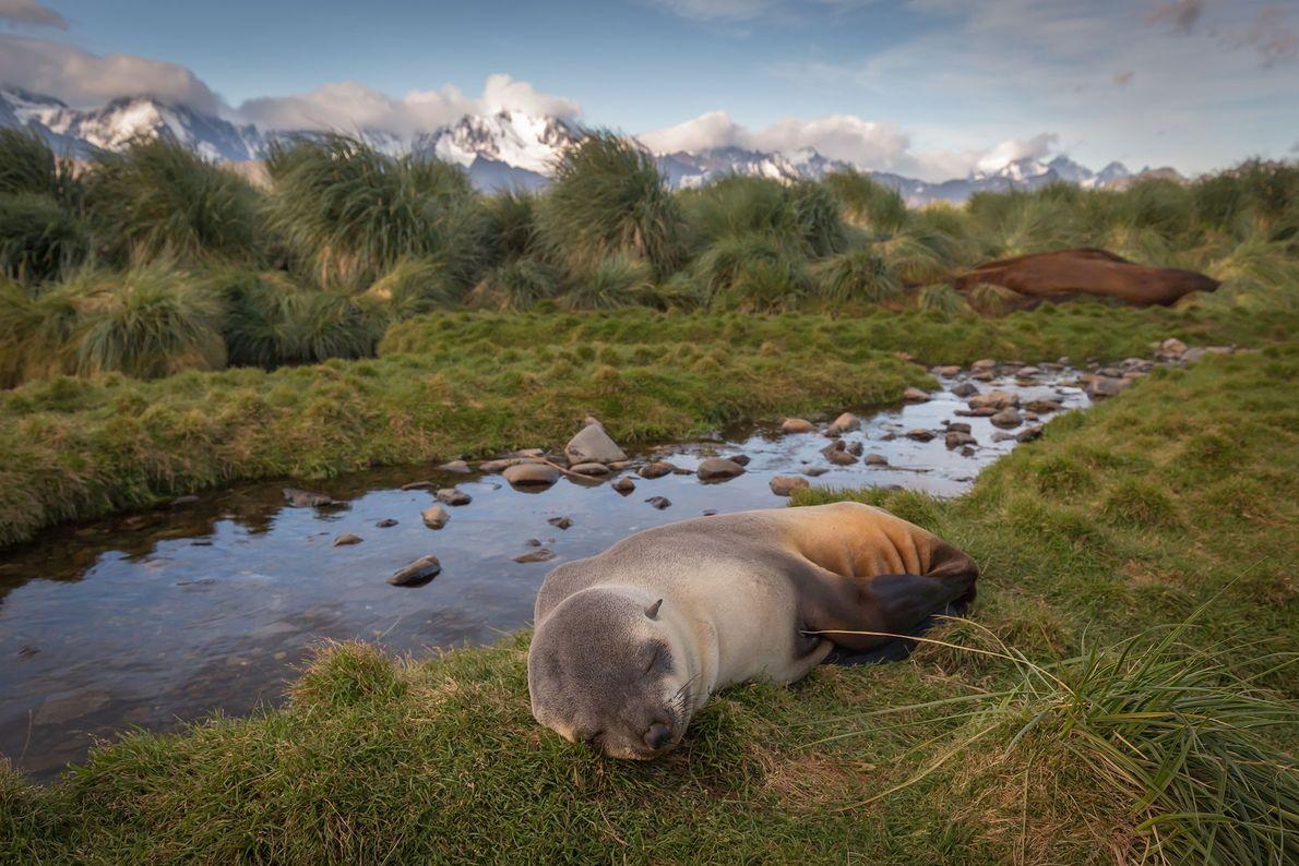 An Antarctic fur seal rests on South Georgia Island.