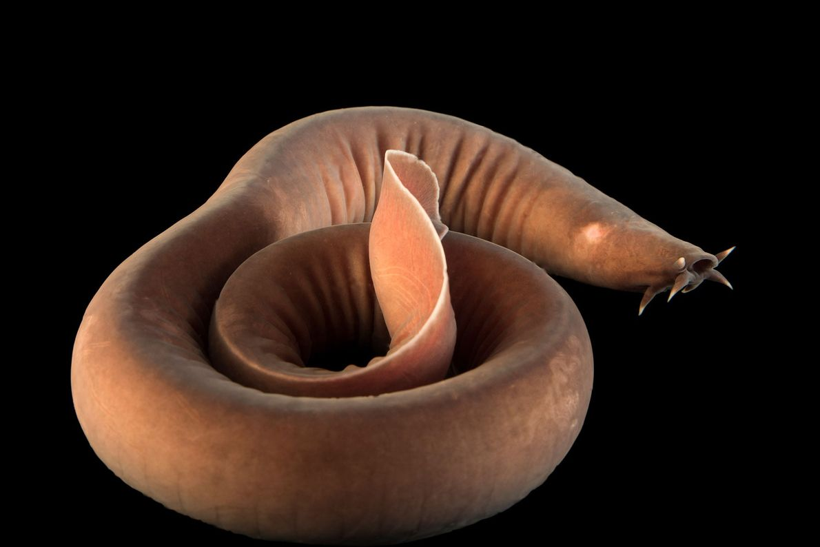 A Pacific hagfish (Eptatretus stoutii) at the Gulf Specimen Marine Lab and Aquarium
