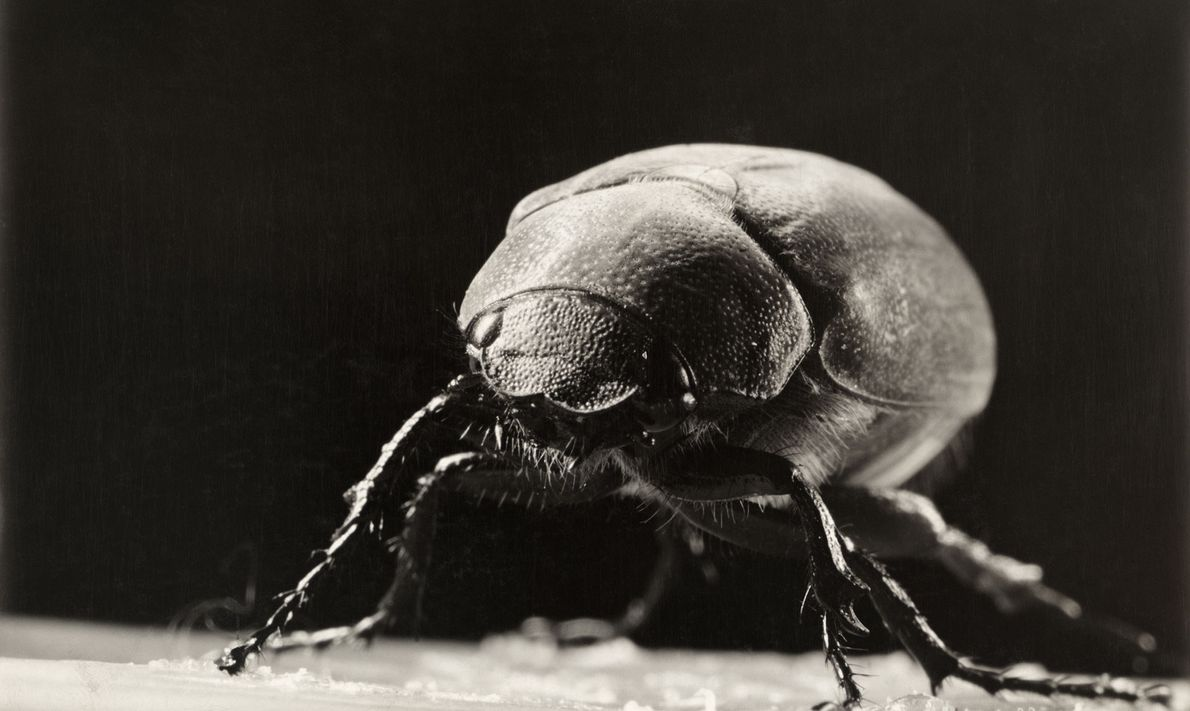 There are more than 200 species of June beetles, also called June bugs. The insects emerge ...