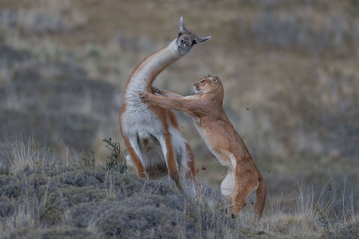 For this image of a puma in Patagonia attempting to take down a guanaco, shot for ...