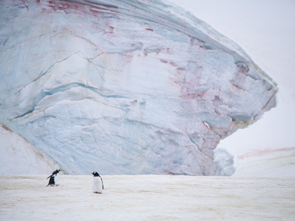 Gentoo penguin chicks on Petermann Island, Antarctica, with snow algae blossoming on the glacial face behind. ...