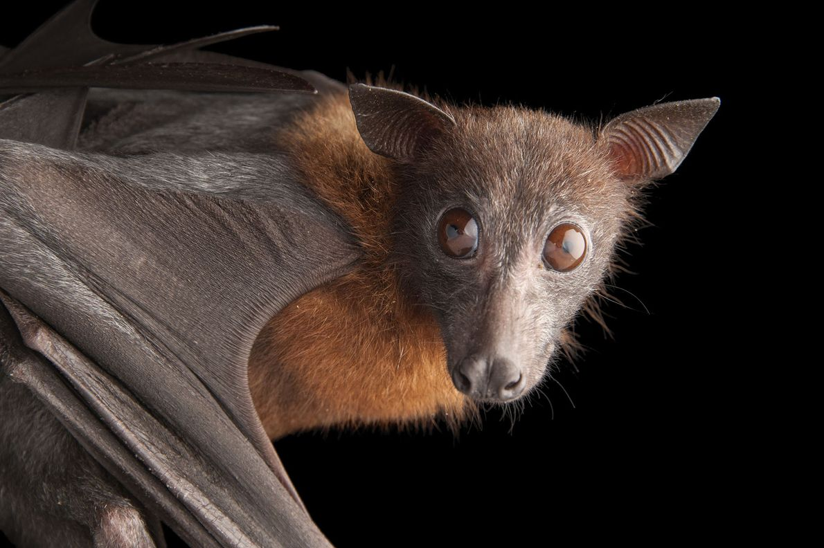 An Indian flying fox , Pteropus giganteus, at the Omaha Henry Doorly Zoo.