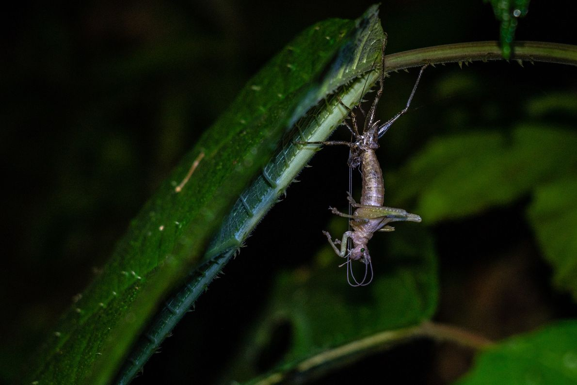 Scientists caught this cricket in the 'Tettigoniidae' family in the act of molting.