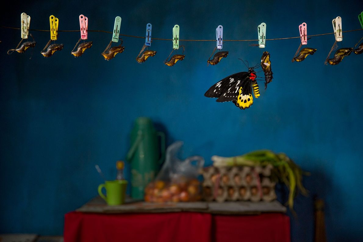 A goliath birdwing hatches in a kitchen in West Papua, Indonesia.