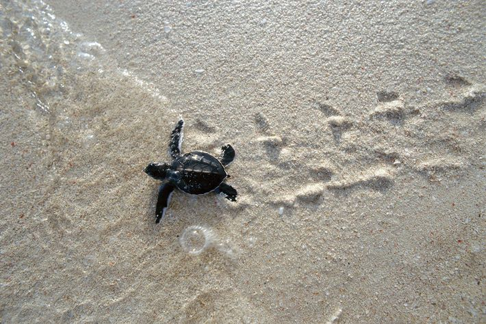 A green sea turtle, Chelonia mydas, hatchling makes its way to the sea.