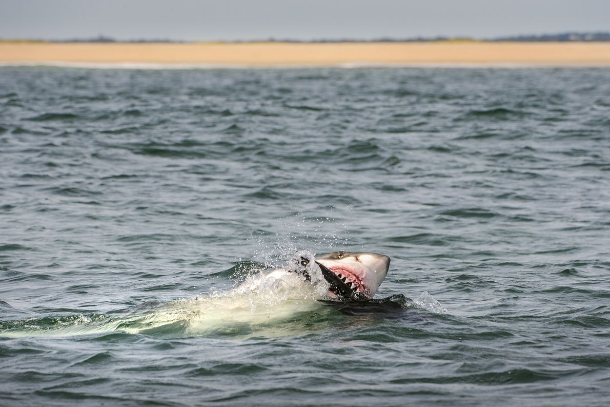 A great white shark attacks a seal decoy off Chatham, Massachusetts, during a scientific study into ...