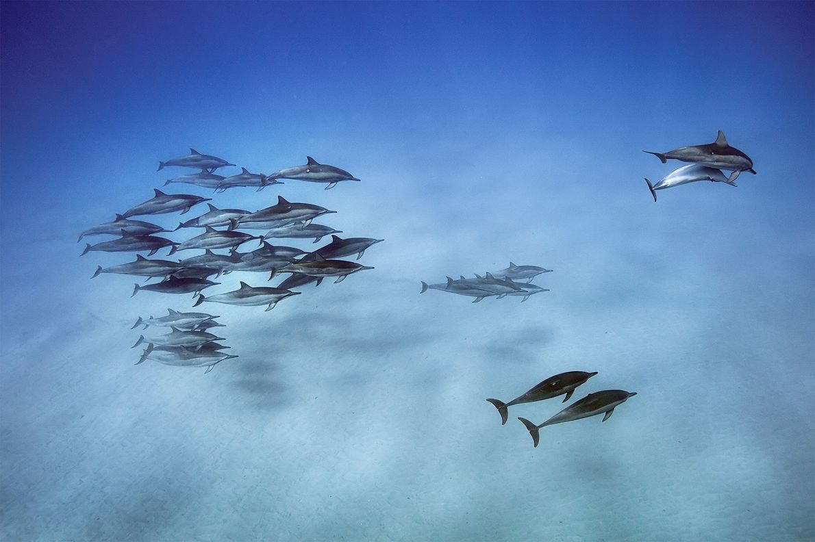 Spinner dolphins forage at night in the deep water offshore then come into shallow bays in ...