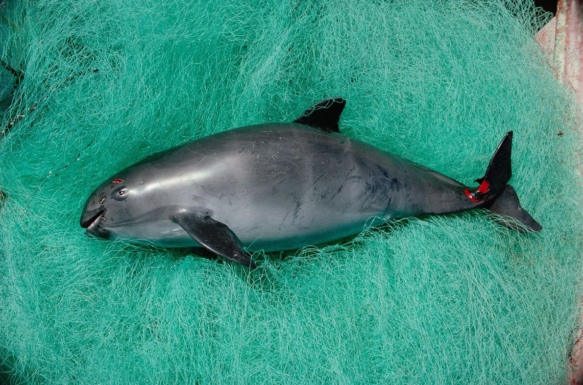 Vaquita - The world's rarest marine mammal, this vaquita was caught in a gill-net in Mexico's Gulf of California. Less than 100 of these small porpoises remain. The Mexican government's recent ban on the illegal fishing method has renewed hope for the animal - Photograph by Flip Nicklen, Minden Pictures