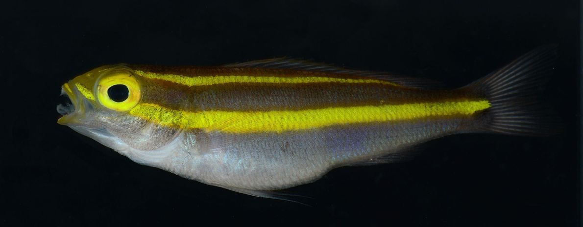 Under white lighting conditions, the stripes on this bream appear yellow. But turn on some blue ...