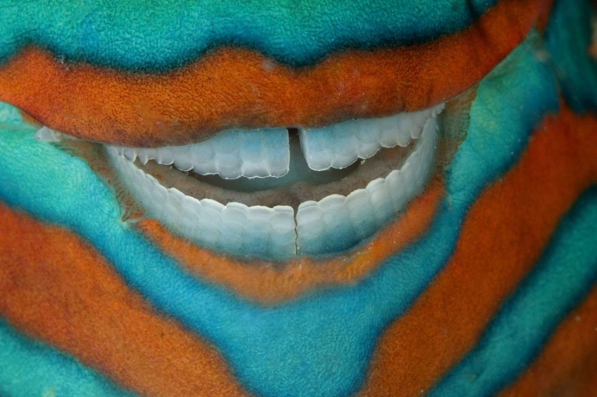 The clownish grin of a bridled parrotfish reveals its power tools: grinding teeth used to scrape ...