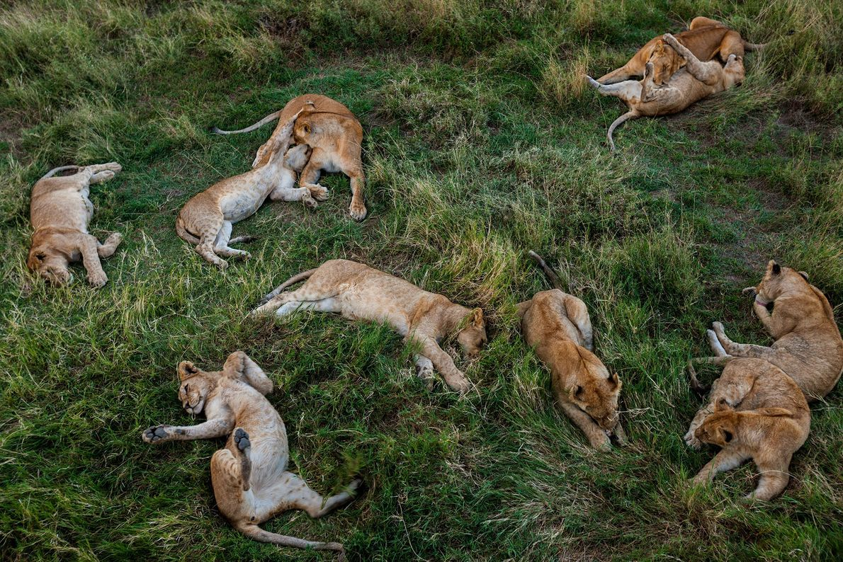 Lion cubs rest near a watering hole in Tanzania's Serengeti National Park.