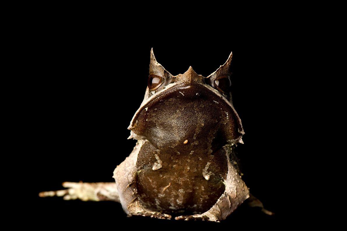 A Malaysian horned leaf frog, ('Megophrys nasuta').