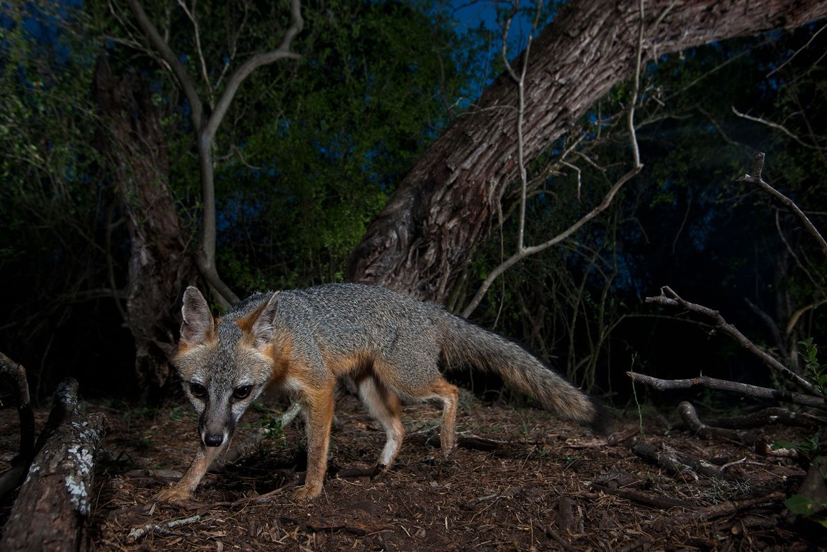 A female grey fox explores the forest at night in Texas, USA.