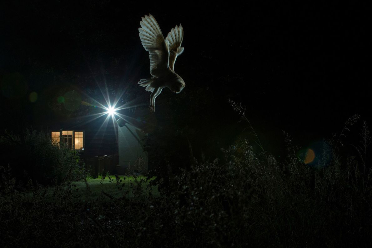 A barn owl hunts in Suffolk, England, in this image that won gold in the birds ...