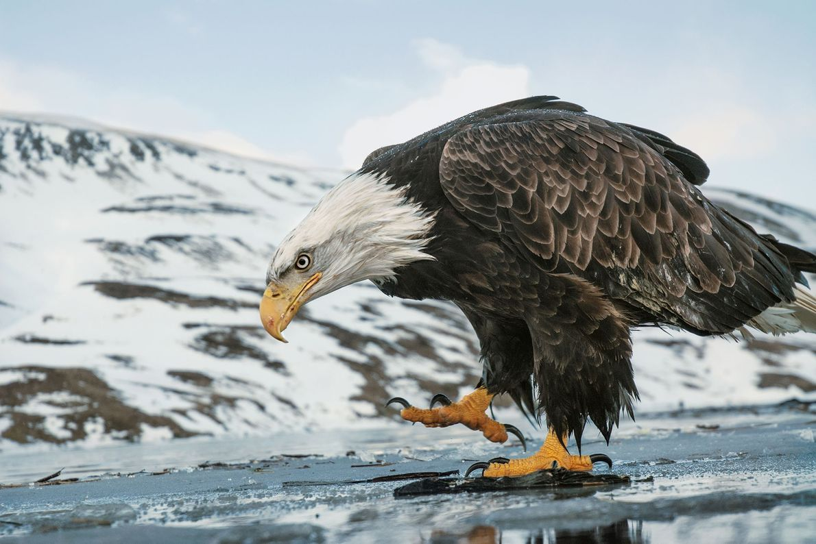 Bald eagle walks on a frozen lake, Aleutian Islands, Alaska, United States.