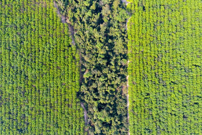 A rubber plantation in the Beng Per Wildlife Sanctuary, in northern Cambodia. Most of the sanctuary's ...