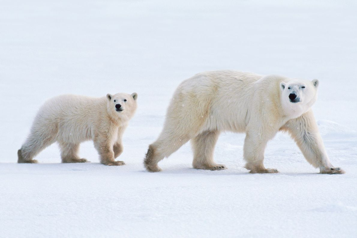 A Polar bear mother and her cub on the move in Hudson Bay, Canada.