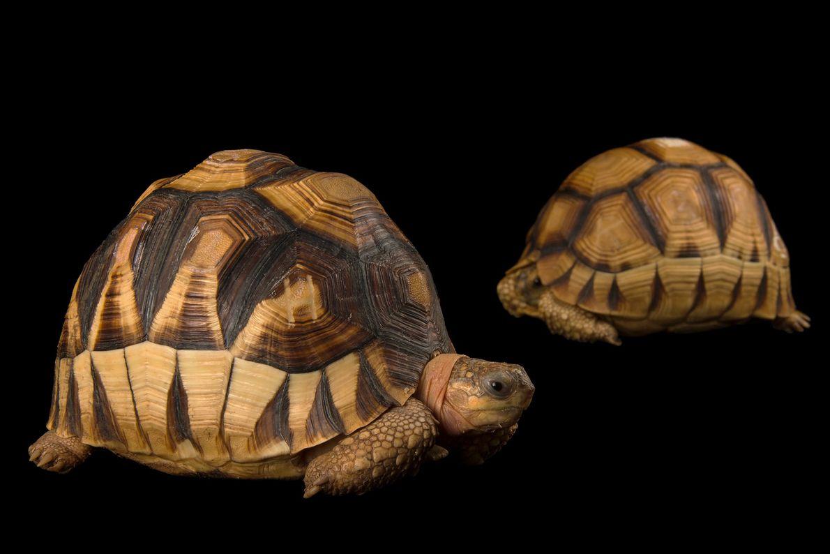 Two critically endangered ploughshare tortoises (Astrochelys yniphora) at Zoo Atlanta.